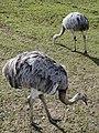 Greater Rheas (Rhea americana), Auchingarrich Wildlife Centre - geograph.org.uk - 1251630.jpg
