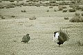 Greater Sage-Grouse (6948143196).jpg