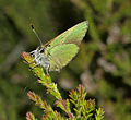 Green Hairstreak - Callophrys rubi (20079441552).jpg