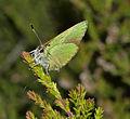 Green Hairstreak - Callophrys rubi (20079441552).jpg