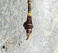 Green Hooktail Male Paragomphus genei (32351672403).jpg