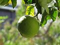 Green Lemon on a Lemon Tree.JPG