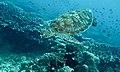 Green Turtle (Chelonia mydas) (6130395346).jpg