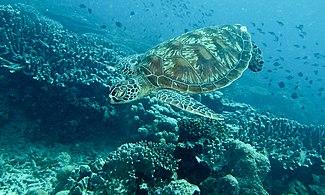 Green Turtle (Chelonia mydas) (6130395346)