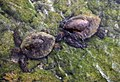 Green turtles in tidepools in Kona 2.jpg