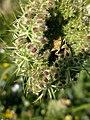 Grenchen - Pentatomidae on plant.jpg