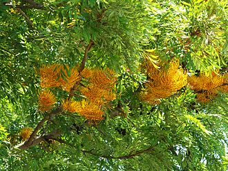 Grevillea robusta - Leaves and flowers