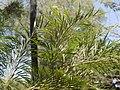Grevillea robusta (4610558195).jpg