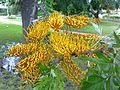 Grevillea robusta leaves and flowers 5.jpg