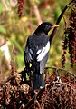 Grey-winged Blackbird Turdus boulboul Male by Dr. Raju Kasambe DSC 4018 (1).jpg