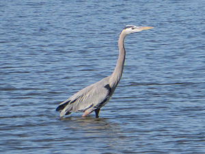Seabrook, Texas - A heron on the water in Seabrook