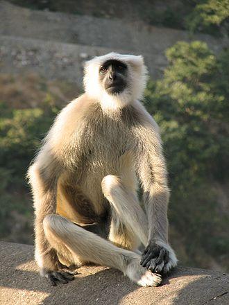 Abubshahar Wildlife Sanctuary - Image: Grey Langur monkey in Rishikesh