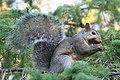 Grey Squirrel 3335 (4968209935).jpg