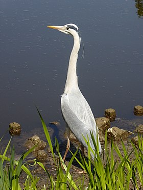 Grey heron, Schwetzingen, Germany, 2017.jpg