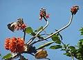 Greyia sutherlandii, bloeiwyses, Manie van der Schijff BT, c.jpg