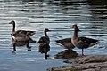 Greylag Geese (Anser anser) - Oslo, Norway 2020-08-01.jpg