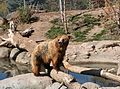 Grizzly Bear in Zoo.jpg
