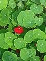 Große Kapuzinerkresse mit roter Blüte.jpg