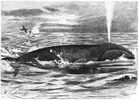 Groenlandwal-drawing
