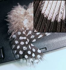 external image 220px-GuineaFeather.jpg