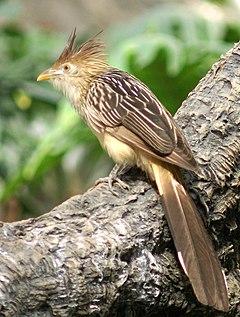 Guira cuckoo ( guira guira )