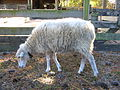 Gulf Coast Native sheep.jpg