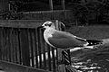 Gull (3218621313).jpg