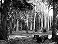 Gum Trees, Tokai Arboretum, Cape Town.jpg