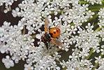 Gymnosoma daucus carota.jpg