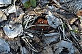 Gyromitra gigas 37554063.jpg