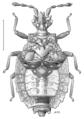 HEMI Aradidae Neocarventus angulatus.png