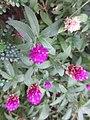 HK 灣仔 Wan Chai 囍匯 The Avenue Rooftop Garden terrace plants Oct 2017 IX1 purple flower ball green sword leaves 03.jpg