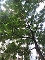 HK 灣仔 Wan Chai 皇后大道東 Queen's Road East tree green leaves October 2017 IX1 格木 Erythrophleum fordii 03.jpg