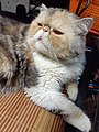 HK HH 紅磡 Hung Hom 異國長短毛貓 Exotic Shorthair bleed cat November 2020 SS2 10.jpg
