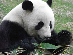 HK Ocean Park 熊貓山 Panda Mountain 竹葉 Bamboo leave in use as food.jpg