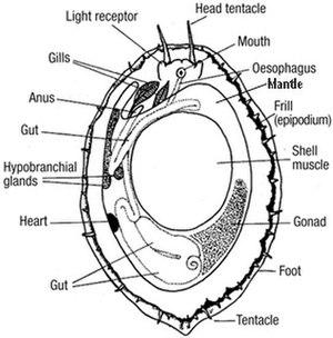 Haliotis cracherodii - Anatomy of Haliotis cracherodii