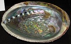 240px haliotis fulgens (green abalone) (san benito island, baja california, mexico) 2 (24117855621)