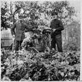 Harvesting celery, 1911- Récolte du céleri, 1911 (20886794711).jpg