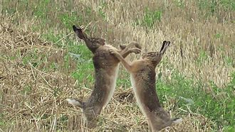 "European hare - Hares fighting during ""March madness"""