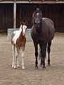 Hayat Caitlin with her filly Hayat Insomnia.jpg
