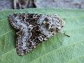 Hecatera bicolorata - Broad-barred white (40357408434).jpg