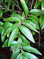 Hedraianthera porphyropetala Coffs Harbour.jpg