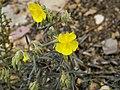 Helianthemum syriacum (habitus).jpg
