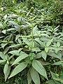 Helianthus tuberosus Paludi 02.jpg