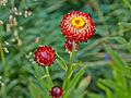 Helichrysum bracteatum-IMG 8575.jpg