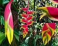 Heliconia rostrata - Flower Photomontage.jpg