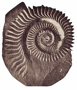 Helicoprion Bessonovi2.jpg