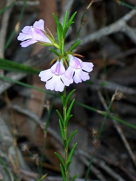 Hemigenia purpurea Kuring-gai Chase National Park.jpg