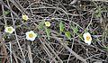 Herissantia crispa (25042641846).jpg