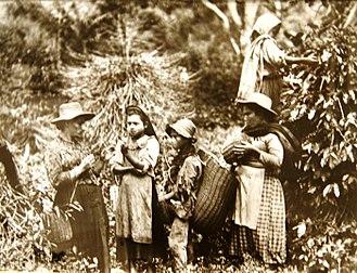 Economic history of Colombia - Children harvesting coffee, 1910